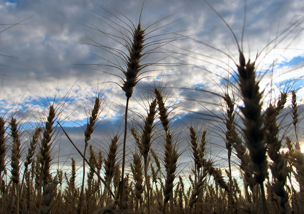 Field of wheat against a blue sky is a symbol for a gluten-free diet